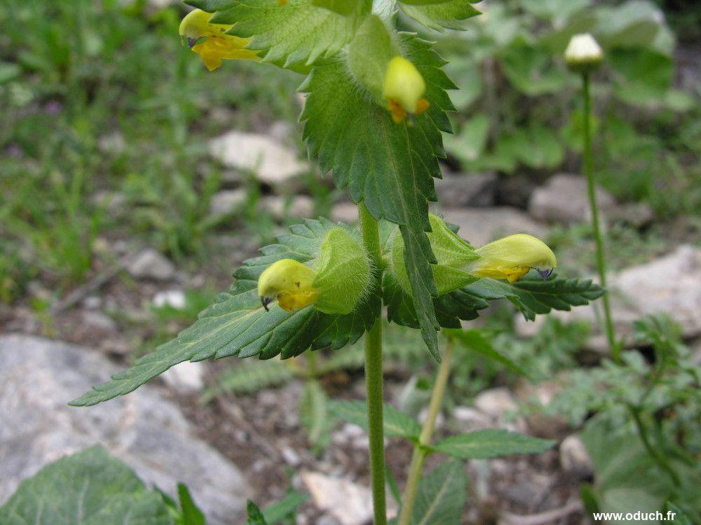 Randonn es et flore des alpes - Plante longue feuille pointue ...