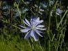 fleurs hautes-alpes Cichorium intybus Chicoree-sauvage Asteracees Chicoree