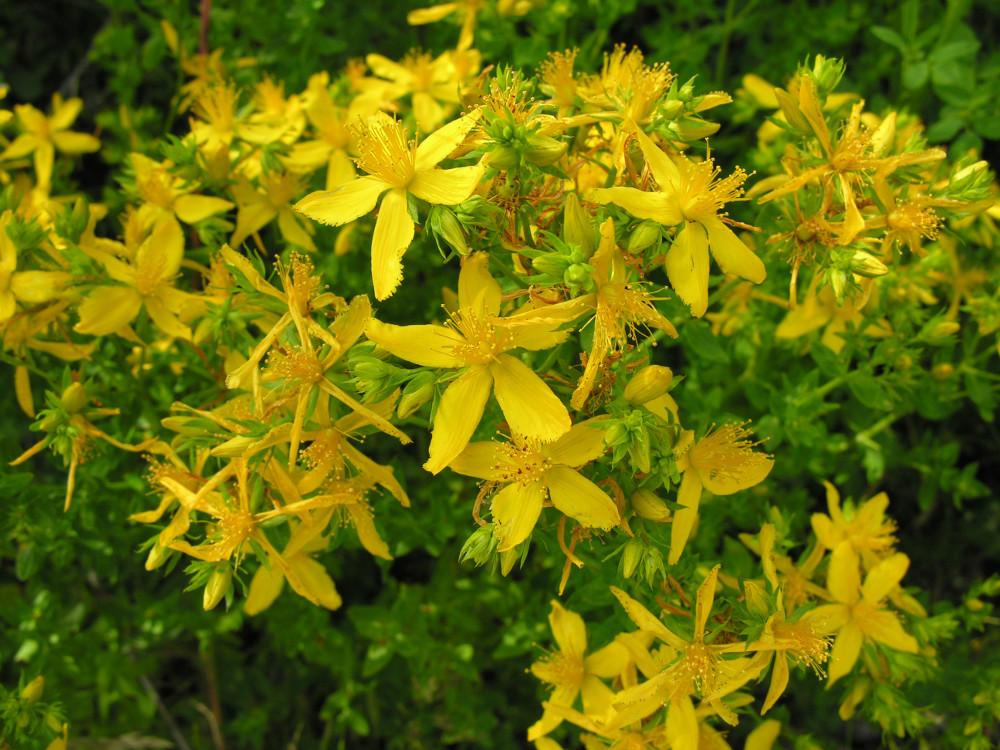 Randonn es et flore des alpes for 815 plante st jean
